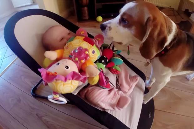 Cachorro pede desculpas após ''roubar'' brinquedo de bebê Reprodução/YouTube