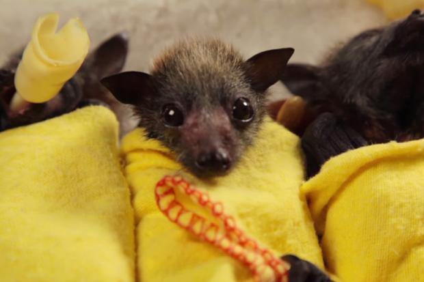 Vídeo: morcegos bebês são mais fofos do que você pode imaginar Reprodução/YouTube